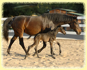 Tanzdiva with Sir Donnerhall colt