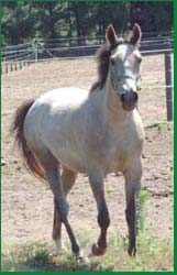 Arab-Trakehner mare for sale, Kasimira