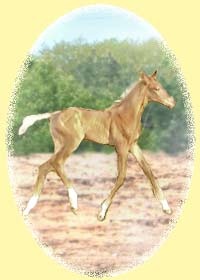 Anglo-Trakehner Foal
