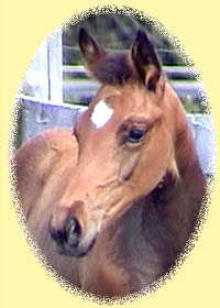 Trakehner filly Itasophia