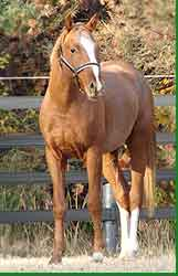 Trakehner Colt Traverse Red